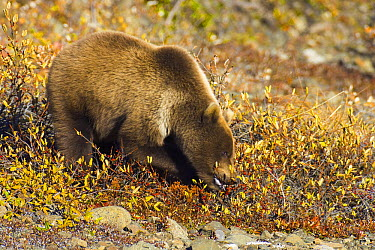 Grizzly Bear (Ursus arctos horribilis) eating berries in colorful fall tundra while using paws to gather branches with fruit, Denali National Park, Alaska  -  Yva Momatiuk & John Eastcott