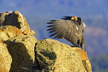 California Condor (Gymnogyps californianus) adult spreading wings, critically endangered, bred in captivity and released wearing radio transmitters, they are the largest bird in North America with a 9...  -  Yva Momatiuk & John Eastcott