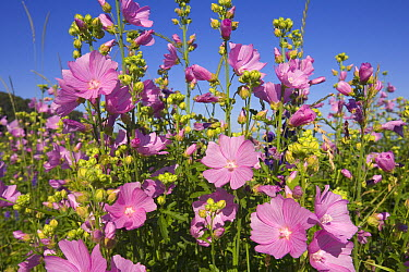 Musk Mallow (Malva moschata) pink flower blossoms with notched petals in summer, seashore of the Bay of Fundy, Nova Scotia, Canada  -  Yva Momatiuk & John Eastcott