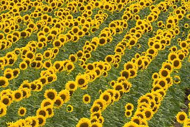 Field of rows of cultivated sunflowers with ripe seeds in farmer's field, evening, western Kansas  -  Yva Momatiuk & John Eastcott