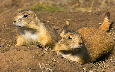 Black-tailed Prairie Dog (Cynomys ludovicianus) family on the mound surrounding their burrow in grasslands, fall afternoon, endangered, Wind Cave National Park, South Dakota  -  Yva Momatiuk & John Eastcott