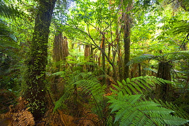Native bush, trees, ferns, bushes, green and dripping with moisture even in winter, West Coast, South Island, New Zealand  -  Yva Momatiuk & John Eastcott