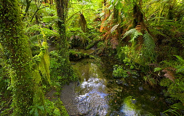 Stream in native bush, trees, ferns, bushes, green and dripping with moisture even in winter, West Coast, South Island, New Zealand  -  Yva Momatiuk & John Eastcott