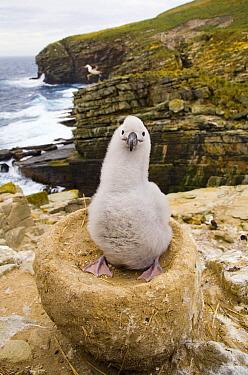 Black-browed Albatross (Thalassarche melanophrys) chick, New Island, Falkland Islands  -  Yva Momatiuk & John Eastcott