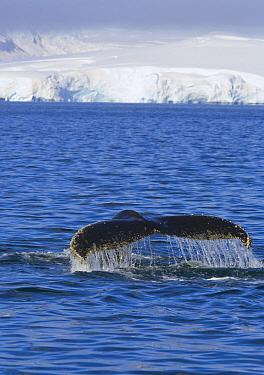Humpback Whale (Megaptera novaeangliae) diving, Antarctica  -  Yva Momatiuk & John Eastcott