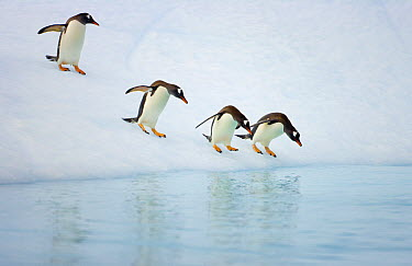 Gentoo Penguin (Pygoscelis papua) getting ready to dive into ocean from iceberg, Gerlache Passage, Antarctica  -  Yva Momatiuk & John Eastcott