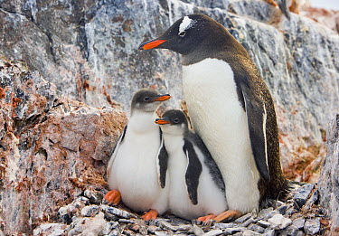 Gentoo Penguin (Pygoscelis papua) parent huddling with two chicks, Booth Island, Antarctica  -  Yva Momatiuk & John Eastcott