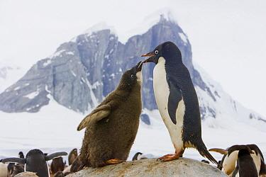 Adelie Penguin (Pygoscelis adeliae) chick begging parent for food, western Antarctica  -  Yva Momatiuk & John Eastcott
