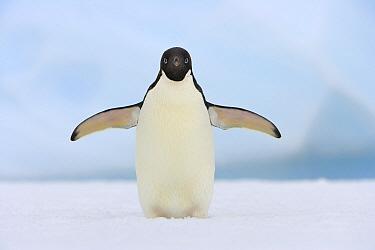Adelie Penguin (Pygoscelis adeliae) standing on iceberg agitated, western Antarctica  -  Yva Momatiuk & John Eastcott