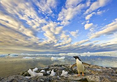 Adelie Penguin (Pygoscelis adeliae) flapping wings, Holtedahl Bay, Antarctica  -  Yva Momatiuk & John Eastcott