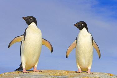 Adelie Penguin (Pygoscelis adeliae) pair, Armstrong Reef, western Antarctica  -  Yva Momatiuk & John Eastcott