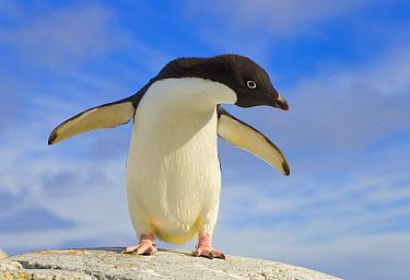 Adelie Penguin (Pygoscelis adeliae) spreading and flapping wings, Armstrong Reef, western Antarctica  -  Yva Momatiuk & John Eastcott