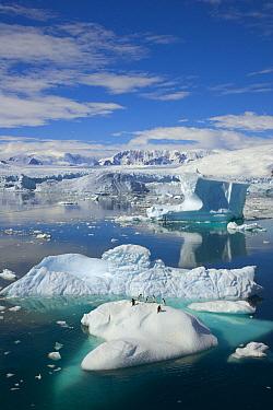 Adelie Penguin (Pygoscelis adeliae) on iceberg surrounded by masses of floating ice, western Antarctica  -  Yva Momatiuk & John Eastcott