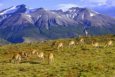 Guanaco (Lama guanicoe) grazing on grassy slope with dominant male keeping watch of its herd, Torres del Paine National Park, Chile  -  Yva Momatiuk & John Eastcott