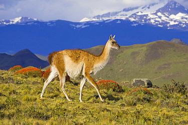 Guanaco (Lama guanicoe) female walking, Torres del Paine National Park, Chile  -  Yva Momatiuk & John Eastcott