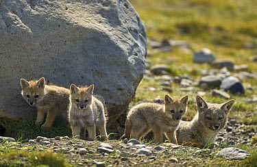 Culpeo (Lycalopex culpaeus) parent with litter of pups outside its den, Patagonia, Argentina  -  Yva Momatiuk & John Eastcott