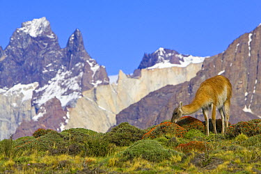 Guanaco (Lama guanicoe) female grazing with Cuernos del Paine peaks in the background, Torres del Paine National Park, Chile  -  Yva Momatiuk & John Eastcott