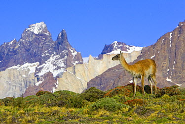 Guanaco (Lama guanicoe) female with Cuernos del Paine peaks in the background, Torres del Paine National Park, Chile  -  Yva Momatiuk & John Eastcott