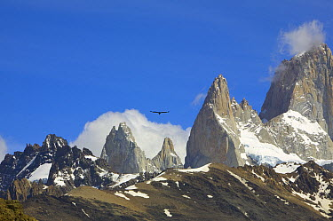 Andean Condor (Vultur gryphus) flying, Fitzroy Massif range, Los Glaciares National Park, Argentina  -  Yva Momatiuk & John Eastcott