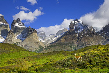 Guanaco (Lama guanicoe) standing on grassy slope with rugged Cuernos del Paine peaks in the background, Torres del Paine National Park, Chile  -  Yva Momatiuk & John Eastcott