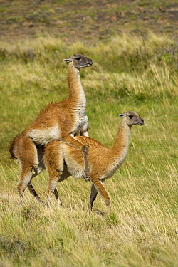 Guanaco (Lama guanicoe) male and female mating, Torres del Paine National Park, Chile  -  Yva Momatiuk & John Eastcott