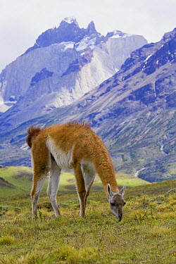Guanaco (Lama guanicoe) female grazing with Cuernos del Paine mountains in background, Torres del Paine National Park, Chile  -  Yva Momatiuk & John Eastcott