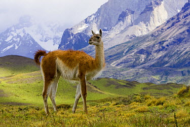 Guanaco (Lama guanicoe) female standing on grassy slope with Cuernos del Paine mountains in background, Torres del Paine National Park, Chile  -  Yva Momatiuk & John Eastcott