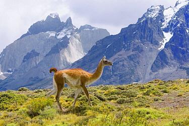 Guanaco (Lama guanicoe) female walking on grassy slope with rugged mountains in background, Torres del Paine National Park, Chile  -  Yva Momatiuk & John Eastcott