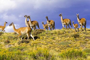 Guanaco (Lama guanicoe) calves and mothers on grassy slope, Torres del Paine National Park, Chile  -  Yva Momatiuk & John Eastcott