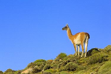 Guanaco (Lama guanicoe) female, Torres del Paine National Park, Chile  -  Yva Momatiuk & John Eastcott
