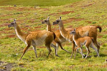 Guanaco (Lama guanicoe) females with calf walking together on grassy slope, Torres del Paine National Park, Chile  -  Yva Momatiuk & John Eastcott