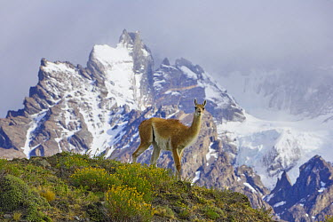 Guanaco (Lama guanicoe) male with Cuernos del Paine mountains in background, Torres del Paine National Park, Chile  -  Yva Momatiuk & John Eastcott