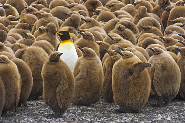 King Penguin (Aptenodytes patagonicus) chick creche with one adult, South Georgia Island  -  Yva Momatiuk & John Eastcott