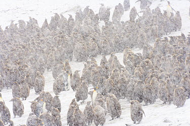King Penguin (Aptenodytes patagonicus) group in falling spring snow, Salisbury Plain, South Georgia Island  -  Yva Momatiuk & John Eastcott