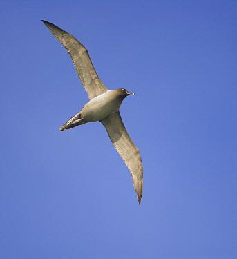 Light-mantled Albatross (Phoebetria palpebrata) flying, South Georgia Island  -  Yva Momatiuk & John Eastcott
