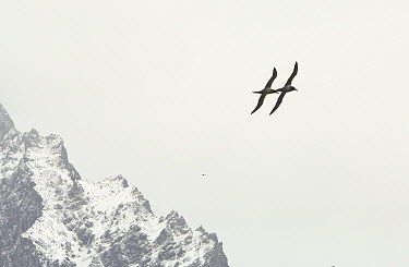 Light-mantled Albatross (Phoebetria palpebrata) pair in synchronized mating flight above Allardyce Range, South Georgia Island  -  Yva Momatiuk & John Eastcott
