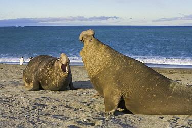 Southern Elephant Seal (Mirounga leonina) bulls challenge each other on beach during breeding season, St. Andrews Bay; South Georgia Island  -  Yva Momatiuk & John Eastcott