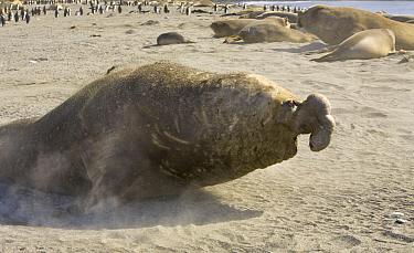 Southern Elephant Seal (Mirounga leonina) bull moving fast toward another bull on beach where he waits to intercept females during breeding season, St. Andrews Bay, South Georgia Island  -  Yva Momatiuk & John Eastcott