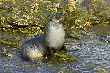 Antarctic Fur Seal (Arctocephalus gazella) pup in tidal pool, St. Andrews Bay, South Georgia Island  -  Yva Momatiuk & John Eastcott