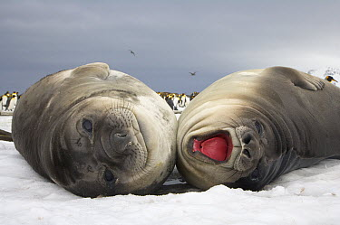 Southern Elephant Seal (Mirounga leonina) pups, fat and docile weaners stay together for company and reassurance, St. Andrews Bay, South Georgia Island  -  Yva Momatiuk & John Eastcott