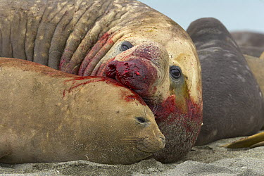 Southern Elephant Seal (Mirounga leonina) bull mating with female after a successful fight, St. Andrews Bay, South Georgia Island  -  Yva Momatiuk & John Eastcott