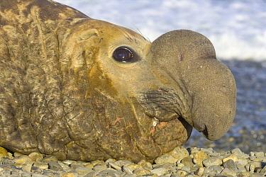 Southern Elephant Seal (Mirounga leonina) bull resting, Leith Harbor, South Georgia Island  -  Yva Momatiuk & John Eastcott