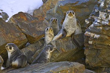 Antarctic Fur Seal (Arctocephalus gazella) pups on shore, Fortuna Bay, South Georgia Island  -  Yva Momatiuk & John Eastcott