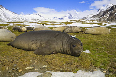 Southern Elephant Seal (Mirounga leonina) weaner pups sleeping toegther away from adults, Antarctic Bay, South Georgia Island  -  Yva Momatiuk & John Eastcott