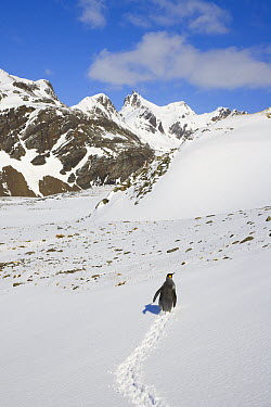 King Penguin (Aptenodytes patagonicus) walking on steep and snowy alpine slope, Antarctic Bay, South Georgia Island  -  Yva Momatiuk & John Eastcott