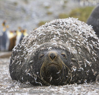 Antarctic Fur Seal (Arctocephalus gazella) bull with moulted penguin feathers stuck to its wet fur, Right Whale Bay, South Georgia Island  -  Yva Momatiuk & John Eastcott