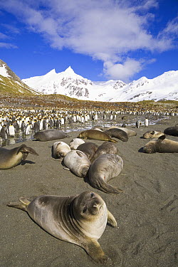Southern Elephant Seal (Mirounga leonina) weaner pups and King Penguin (Aptenodytes patagonicus) colony on beach, Right Whale Bay, South Georgia Island  -  Yva Momatiuk & John Eastcott