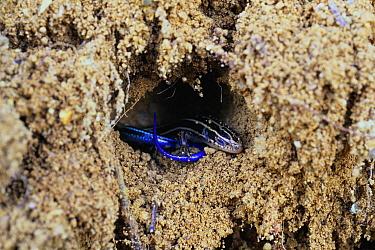 Japanese Five-lined Skink (Eumeces japonicus) hibernating in underground burrow, Shiga, Japan  -  Shigeki Iimura/ Nature Productio