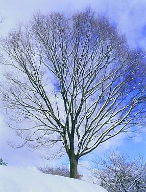 Japanese Zelkova (Zelkova serrata) in winter, Ritto, Shiga, Japan  -  Shigeki Iimura/ Nature Productio