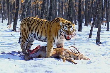Siberian Tiger (Panthera tigris altaica) feeding on deer, Russia  -  Toshiji Fukuda/ Nature Productio